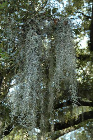 Spanish moss, Savannah, Georgia