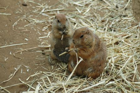 Prairie dogs at lunch, Childrens Zoo, San Francisco Zoo photo