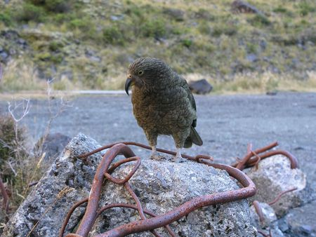 homer: Kea - Alpine parrot, spotted at Homer Tunnel, Fjordland National Park, Milford, New Zealand Stock Photo