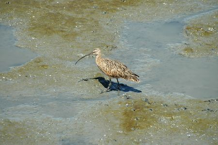 alto: Long-billed curlew, Baylands Nature Preserve, Palo Alto, California