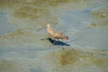 swampland: Long-billed curlew, Baylands Nature Preserve, Palo Alto, California
