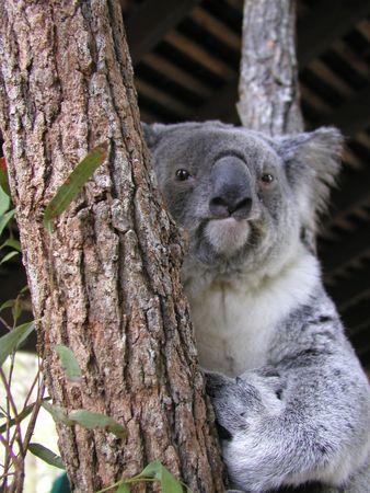 코알라, 타 롱가 동물원, 시드니, 뉴 사우스 웨일즈, 호주