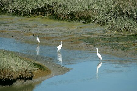 wade: Great Egrets, San Francisco Bay National Wildlife Refuge, Fremont, California