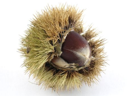 Chestnut in its prickly case