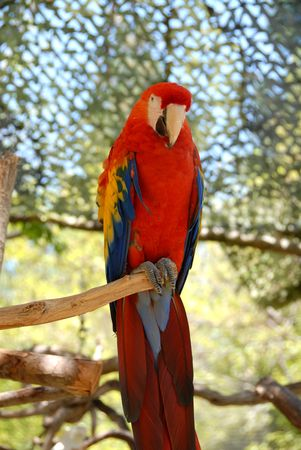 Scarlet parrot on its perch