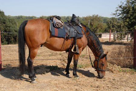 cavalry: Cavalry horse, Civil War reenactment, Clements, California Stock Photo