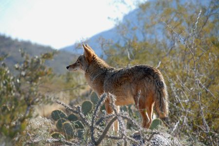 tucson: Coyote, Desert Museum, Tucson, Arizona Stock Photo