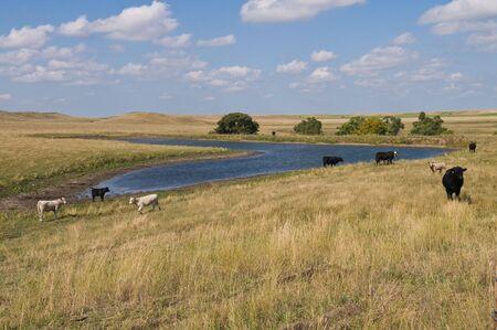 dakota: Cattle at a watering hole near Akaska, South Dakota Stock Photo