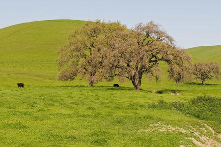 livermore: Trees in a green field, Livermore, California