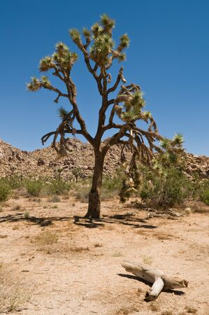 joshua: Joshua tree, Joshua Tree National Park, Joshua Tree, California Stock Photo