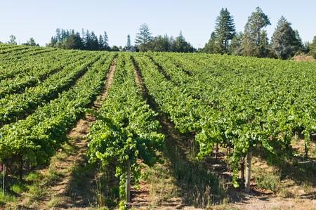 Rows of grapevines on rolling hills, Sebastopol, California