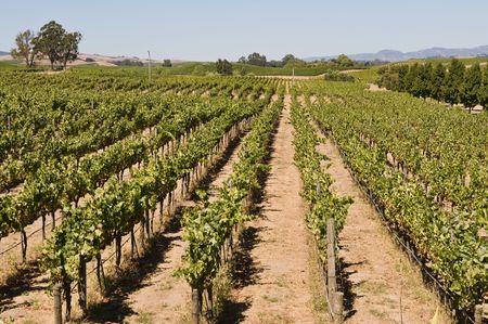 Rows of grapevines, Carneros, Napa Valley, California