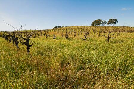 Overgrown vineyard in the early spring, Carneros Region, Napa, California Archivio Fotografico - 9117392