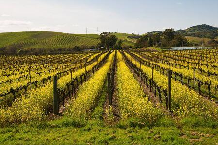 mustard plant: Mustard plants among the vines, Carneros Region, Napa, California