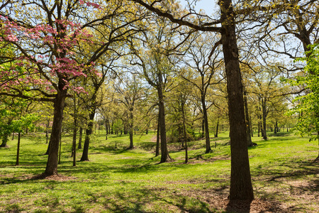 st louis: Trees in blossom in spring, Tilles Park, St. Louis, Missouri Stock Photo