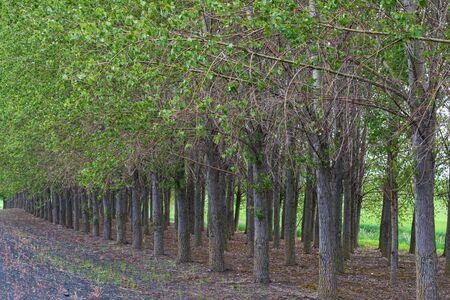 palouse: Cottonwood trees in a row, Palouse, Washington