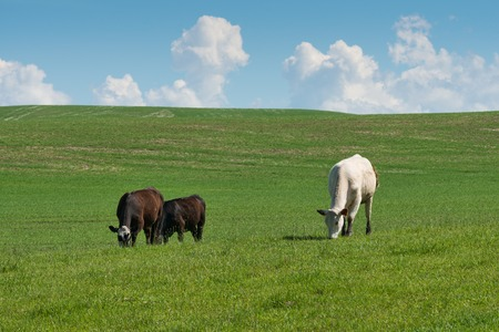 palouse: Cows grazing on a hillside, Palouse, Washington Stock Photo