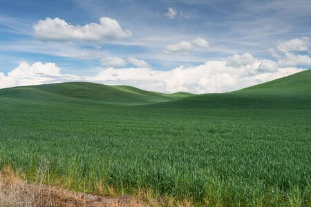 colfax: Rolling hills covered in wheat, Colfax, Washington