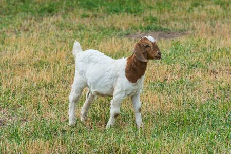 baby goat: Baby goat in a field of grass Stock Photo