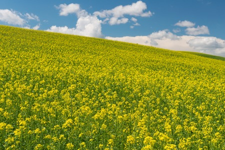 colfax: Rolling hills covered in canola flowers, Colfax, Washington Stock Photo