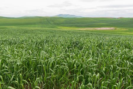 rolling hills: Rolling hills of wheat, Pullman, Washington