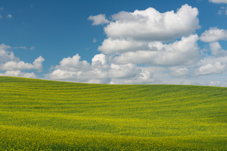 Rolling hills covered in canola flowers, Colfax, Washington Stock fotó