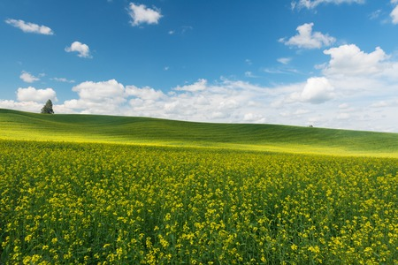 Rolling hills covered in canola flowers, Colfax, Washington