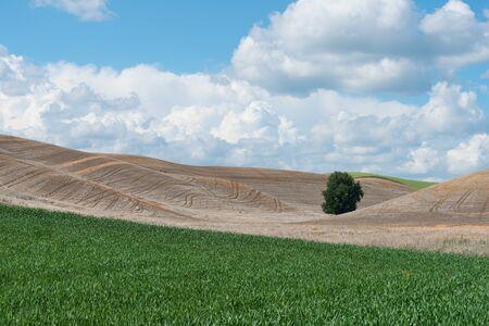 colfax: Lone tree on a field of wheat, Colfax, Washington