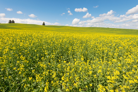 canola plant: Rolling hills covered in canola flowers, Colfax, Washington Stock Photo