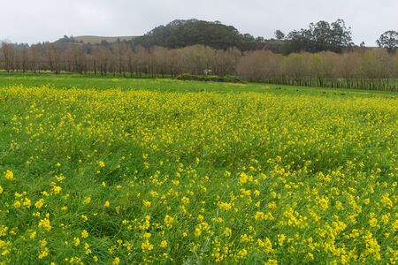 Pasture with wildflowers after heavy rains, Pescadero, California