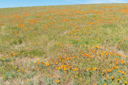 Spring blooms at the California Poppy Reserve, Lancaster, California Stock Photo