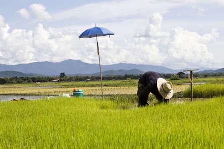 filed: rice filed in Lampang Thailand