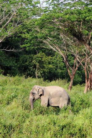 Wild elephant at Kuiburi national park