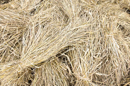 Thailand, 7 December 2011: A dry hay of rice after seed fall out. It use for pet