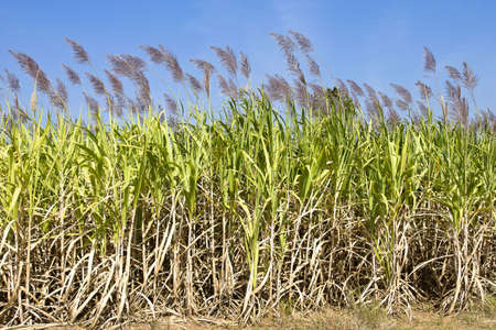 crop harvest: sugar cane field with flower ready for harvest.