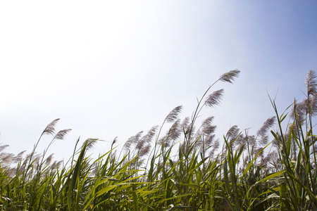 field of thai: sugar cane field with flower ready for harvest.