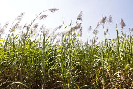sugar cane field with flower ready for harvest.