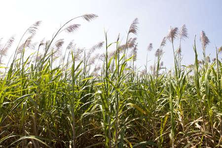 sugar cane farm: sugar cane field with flower ready for harvest.