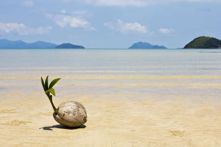 A young coconut start to grow on the beach at Koh Mak island, Trat, Thailand