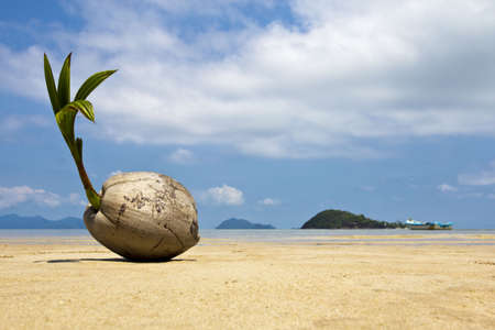 coco palm: A young coconut start to grow on the beach at Koh Mak island, Trat, Thailand