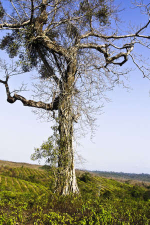 One tree in mountains, Myanmar