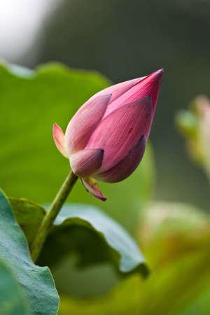 Water Lily or pink lotus photo