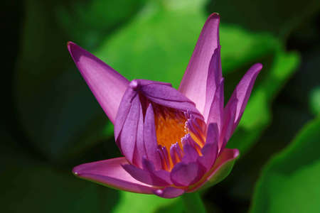 Water Lily or lotus Stock Photo