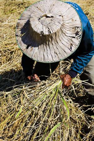 Thai farmer harvesting rice