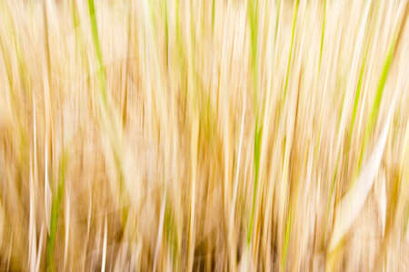 Abstract of hay of rice after harvested photo