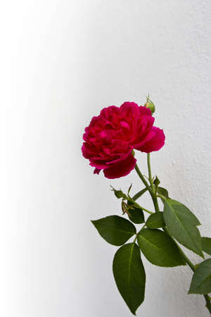 Roses on the white wall