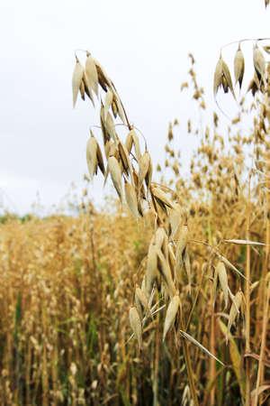 Oat or Havre in a wheat field