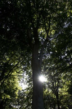 Big tree in Denmark with sun