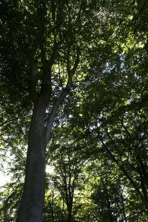 Big green  tree in Denmark