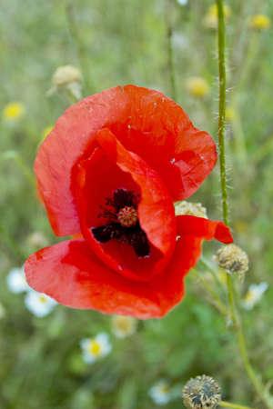 Poppy wild flower Stock Photo
